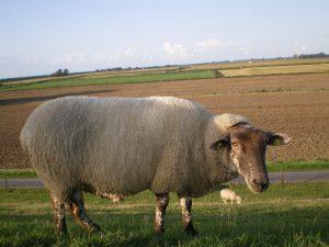 Ferienhaus Ida - Impressionen - Schaf auf dem Nordsee-Deich